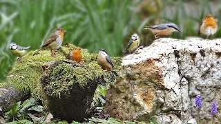 Tranquil Bird Song - ONE HOUR of Beautiful Birds and Bird Sounds thumbnail