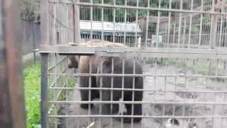 Медведь психанул