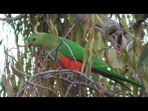 King Parrots Eating Almonds and Mistletoe Berries