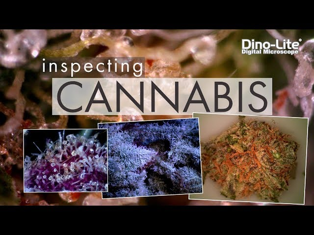 Inspecting Cannabis with Dino-Lite  Digital Microscopes