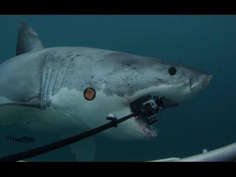 Great White Shark attacks 6 GoPro Hero3 Cameras - $5000 Reward