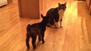 Baby Goat Tries to Headbutt Cat