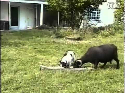 Tổng hợp những clip vui về chó - VnExpress
