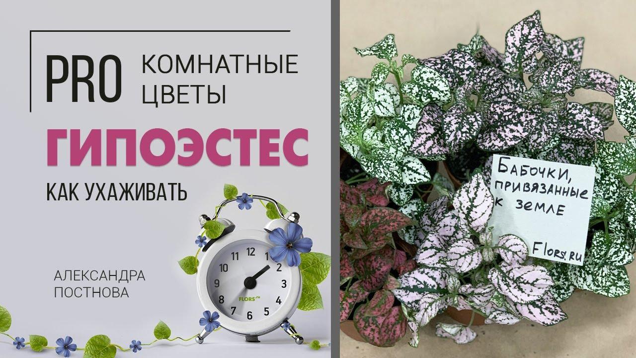 Комнатное растение Гипоэстес   Уход в домашних условиях