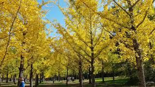 2019 홍천 은행나무숲 4