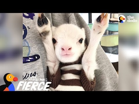 Fuzzy Little Lamb Is Nonstop Chaos | The Dodo Little But Fierce