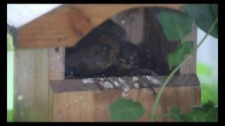 Robins In Window Ledge Nestbox