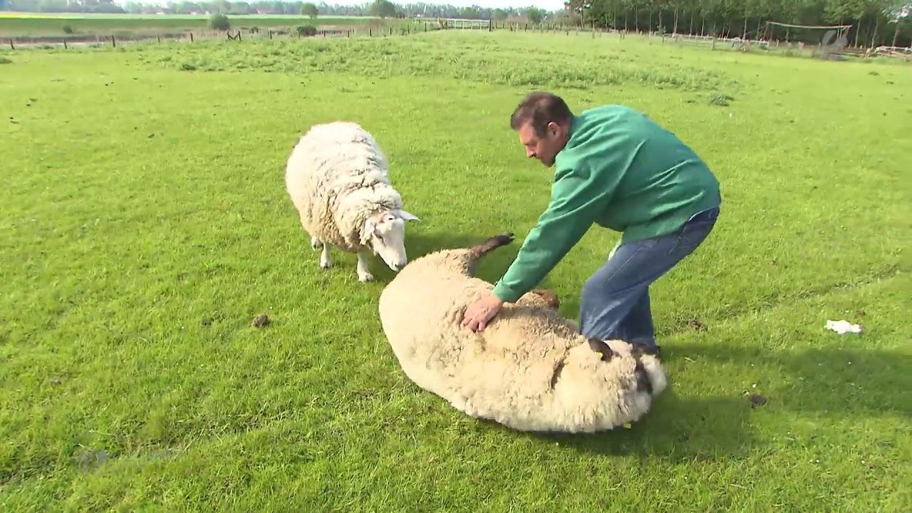 Schafe Schubsen