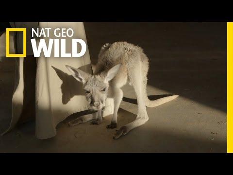 Baby Kangaroos Learn to Hop | Kangaroo Dundee