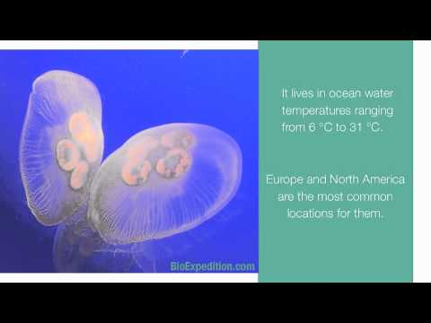 Information About Moon Jellyfish