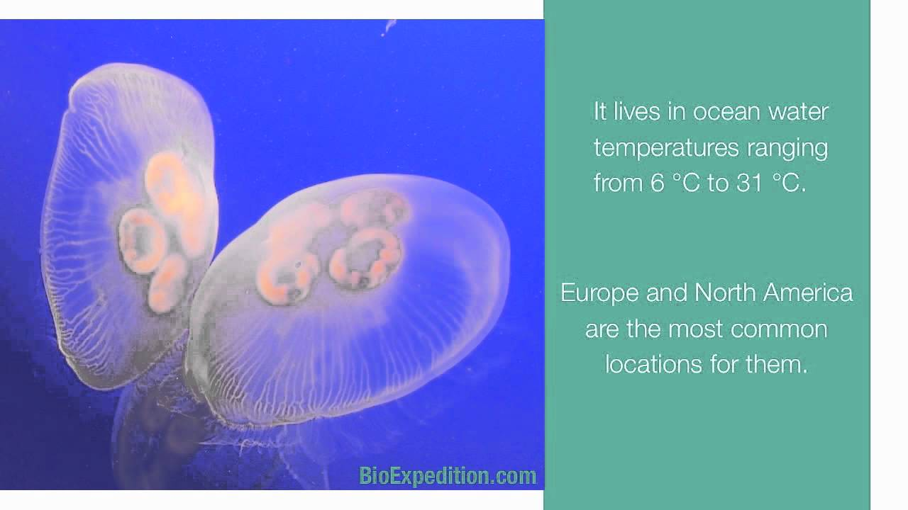 Information about Moon Jellyfish - YouTube