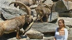 Wo klettert der Steinbock? (Doku) | Reportage für Kinder | Anna und die wilden Tiere