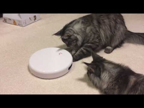 Maine coon kittens playing with automatic teaser toy