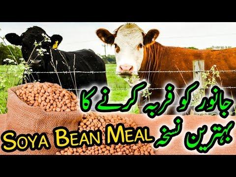 Soya Bean Healthy Meal for Cattle Farming & Dairy Farming in Urdu / Hindi HD