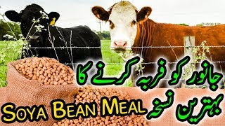Soya Bean Healthy Meal for Cattle Farming & Dairy Farming in Urdu / Hindi HD