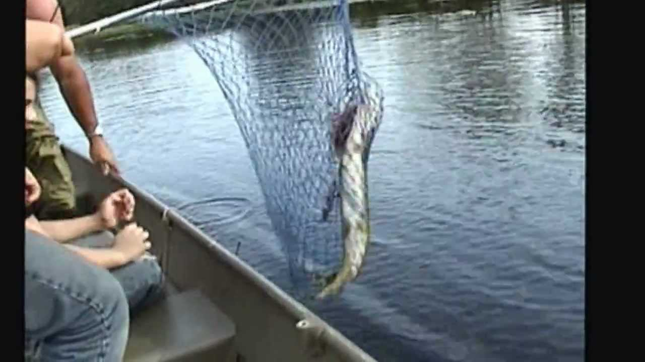 huge pickerel peconic lake freshwater fish long