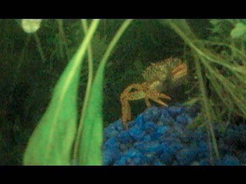 My Amazing Aquarium FishTank!!! - Crabs, Guppies, Shrimp, Cat Fish.