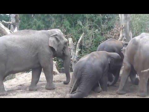 Dierenpark Amersfoort - elephants swimming