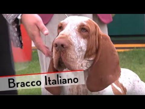 Bracco Italiano - Bests of Breed
