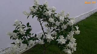 Parfum de Iasomie