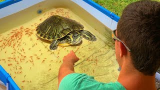 TURTLE Pond Trains BABY JAWS TO Hand FEED!