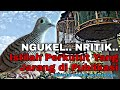 Jenis Suara Perkutut Ngukel Nritik  Mp3 - Mp4 Download