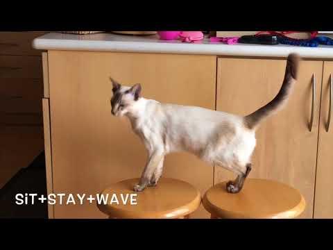 Balinese Cat Darci's New Tricks- Friend & Wave
