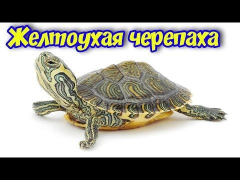 Как ухаживать за желтоухой черепахой в домашних условиях