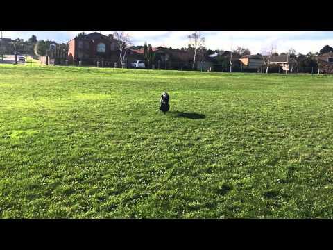 Nox - Australian Kelpie - jumping