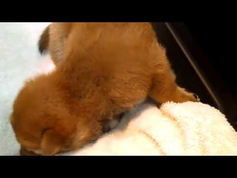 Gorgeous Red Male Shiba Inu Puppy