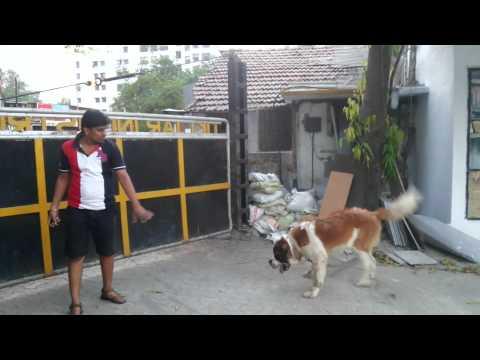 Dog Training Dhananjay Saint Bernard