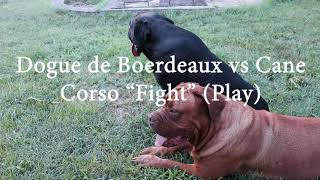 Dogue de Boerdeaux vs Cane Corso 'Fight' (Play scene)!  DogCastTv