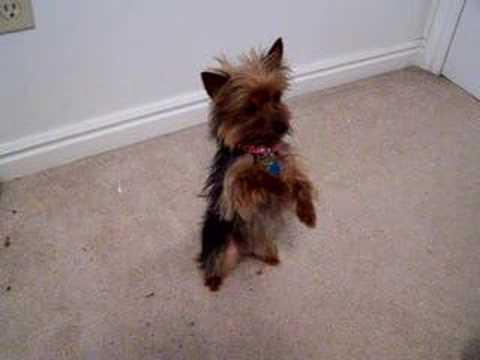 Smartest Yorkie Puppy Ever! Such A Yorkshire Terrier Dog