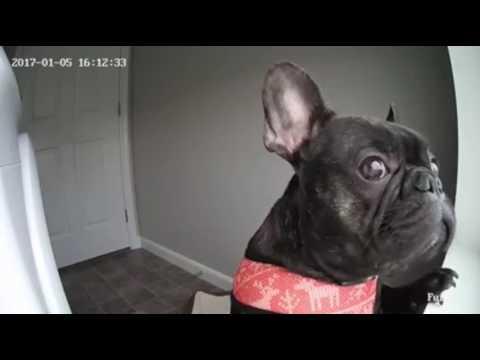Cute Dog Looking Out Window: Furbo Dog Camera