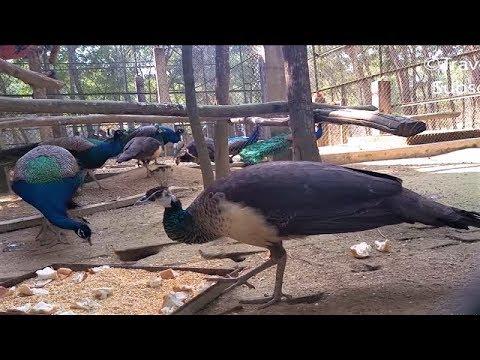 Peacocks Feeding | Gorgeous Lots of Peacocks | Sweet Peacocks Sound