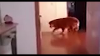 8-perros-fantasma-captados-en-video