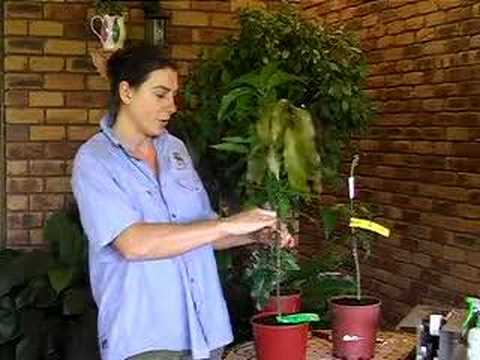 Planting a grafted fruit tree