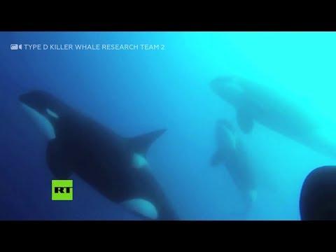 Científicos encuentran un nuevo tipo de ballenas asesinas en Chile