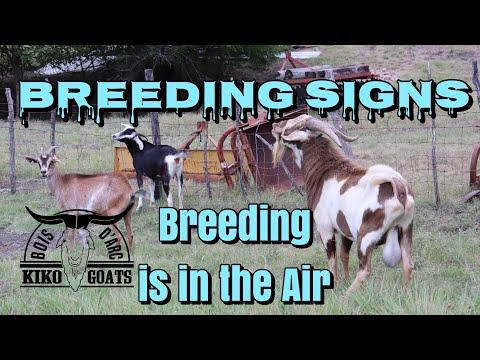 Goat Breeding Signs | Kiko Goats | Kikos
