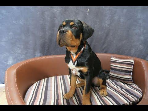 Rameses - Rottweiler Puppy - 2 Weeks Residential Dog Training