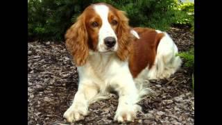 Суссекс -Спаниель/Sussex Spaniel (порода собак HD slide show)!