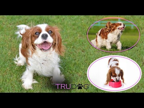 Ultimate Guide To Caring For My Cavalier King Charles Spaniel
