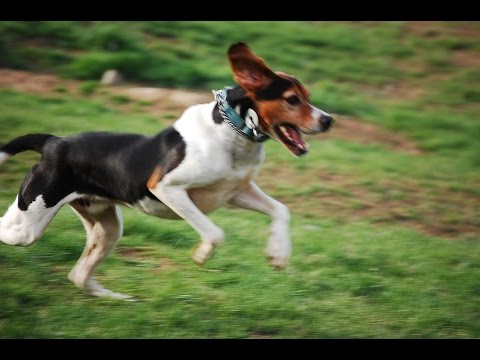 Порода Собак №6 - Английский фоксхаунд