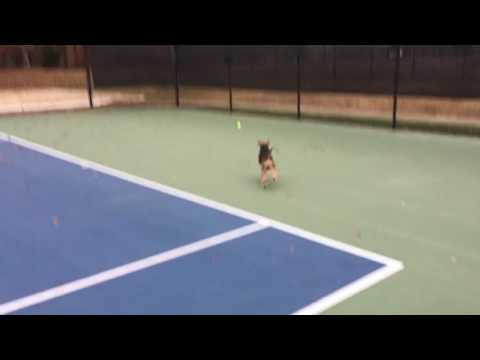 Welsh Terrier Buckley Playing Fetch Having Fun @ Tennis Court