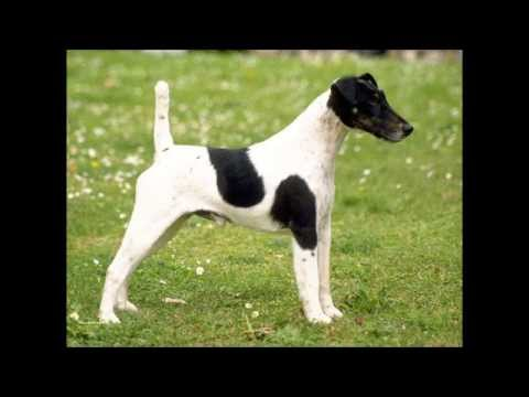 FOX TERRIER PELO LISO, ORIGEN DE LA RAZA - YouTube