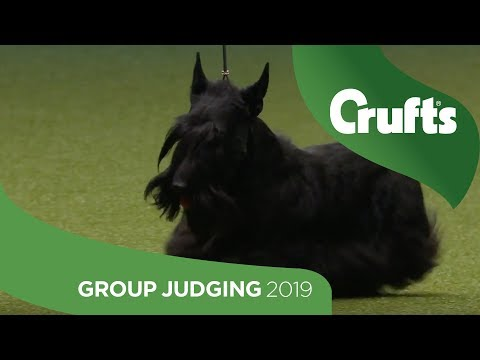 Terrier Group Judging And Presentation | Crufts 2019
