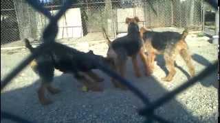 Terrier De Talie Inalta -de Vanzare (for Sale)