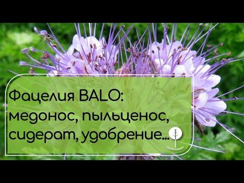 ФАЦЕЛИЯ Balo уникальный медонос, сидерат, защитник почвы и кормовая культура.