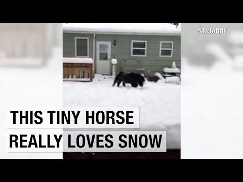 Tiny horse frolics in Portland snow