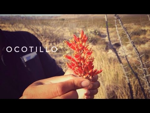 Desert Survival Food: Ocotillo Tea